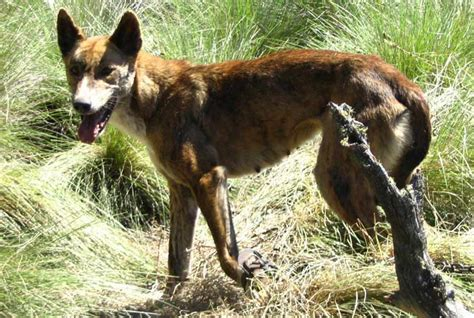 dingo dogs dingo breed standards