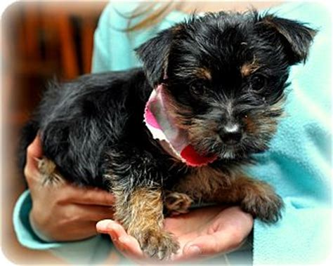 scottish terrier and yorkie mix yorkie scottie mix breeds picture