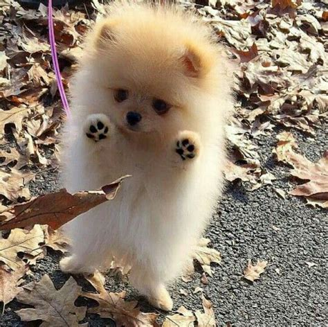 pomeranian puppy 25 best ideas about teacup pomeranian on teacup pomeranian puppy