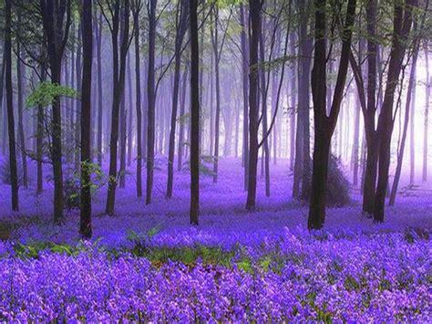 bluebell forest bluebell woods love