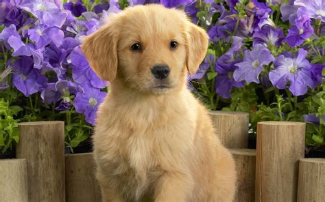 adorable golden retriever puppies 50 most lovely golden retriever puppy pictures and images