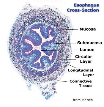 cross section of esophagus chapter 14 page 2 histologyolm 4 0