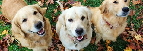 oregon puppies our dogs oregon goldadors