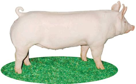 pics for gt large white pig characteristics