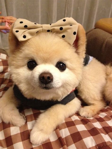 mr puppy 57 best images about boo mr winkle shunsuke cutest poms