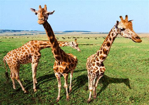Imagenes De Jirafas En 3d | postales fotograf 237 as de animales 3d jirafas curiosas
