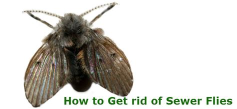 how to get rid of drain flies in the bathroom image gallery sewer flies