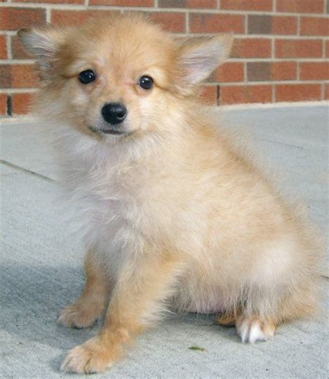 papillon pomeranian paperanian papillon pomeranian mix puppies info care pictures