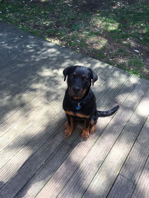rottweiler for protection rottweiler for sale to family protection rottweiler for sale breeds picture