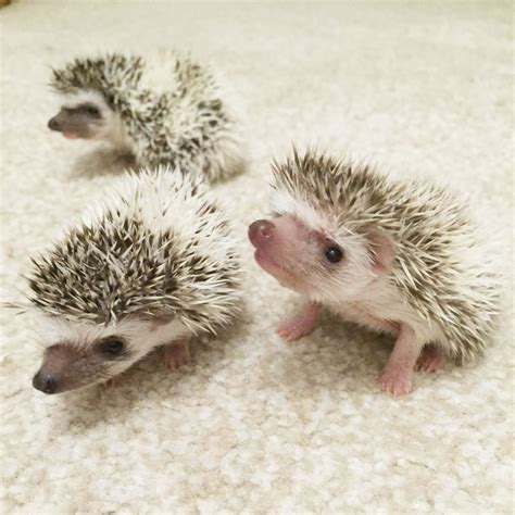 african pygmy hedgehogs truro cornwall pets4homes
