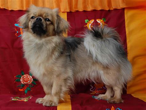 small to tibet tibetan spaniel all small dogs photo 14496831 fanpop