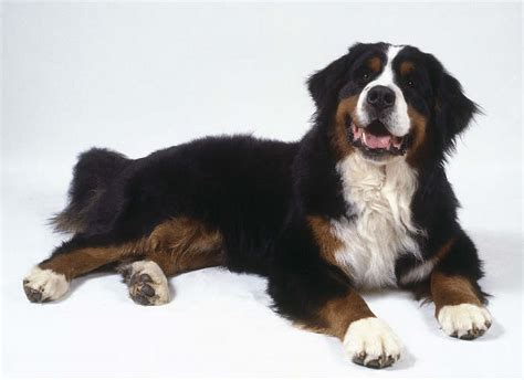 non shedding big dogs large non shedding bernese mountain breeds picture