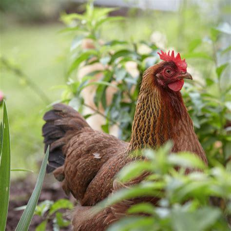 Backyard Chickens Diet Backyard Gardening And Its Importance 2017 2018 Best