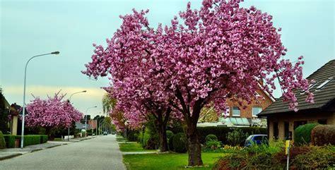 alberi giardino sempreverdi alberi ornamentali da giardino e sempreverdi