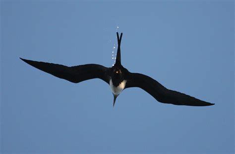 Fregata minor - The Great Frigatebird