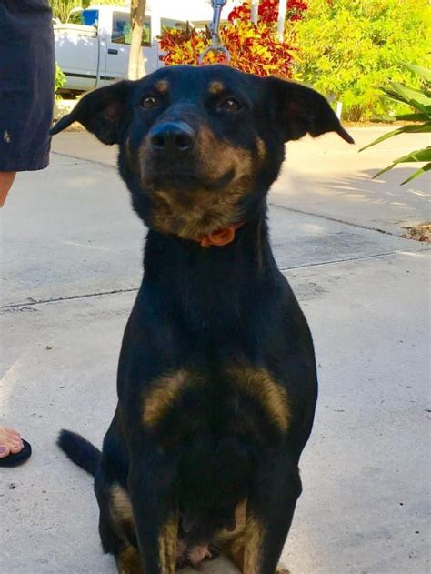 rottweiler rescue ranch 1000 ideas about mixes on dogs for adoption chihuahua mix and puppy