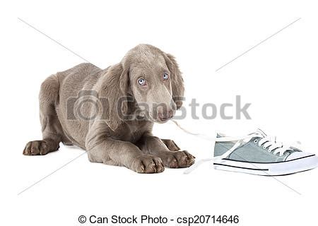 stock photo of weimaraner puppy chewing the lace of a shoe