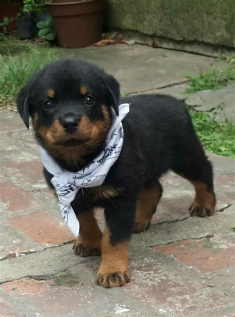baby rottweiler pictures best 25 rottweilers ideas on rottweiler rottweiler puppies and