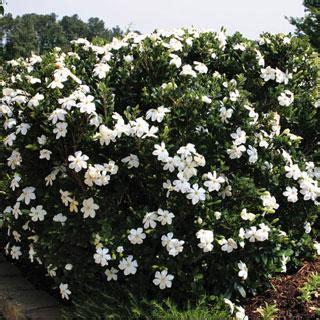 Gardenia Kleim S Hardy Pruning Mint Gardenia Jasminoides Gardenia Shrub Reviews