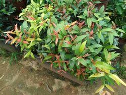 decorative plant  jaipur latest price mandi rates