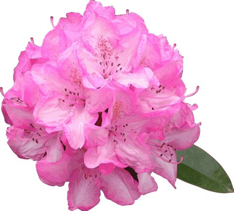 pink rhododendron drawing www pixshark com images