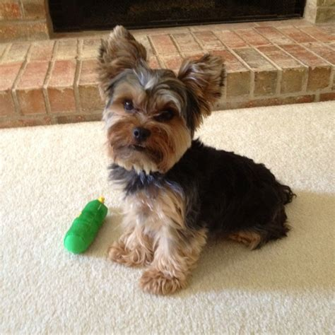 haircuts for yorkies with floppy ears yorkie with floppy ears haircuts breeds picture