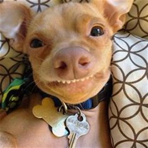 is tuna bad for dogs 1000 images about smiling dogs on smiling dogs smile and pitbull