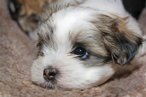 shih tzu and maltese puppies 15 cutest puppies that will melt your barking royalty