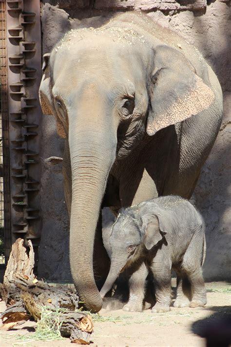 albuquerque celebrates  elephant calf baby jazmine