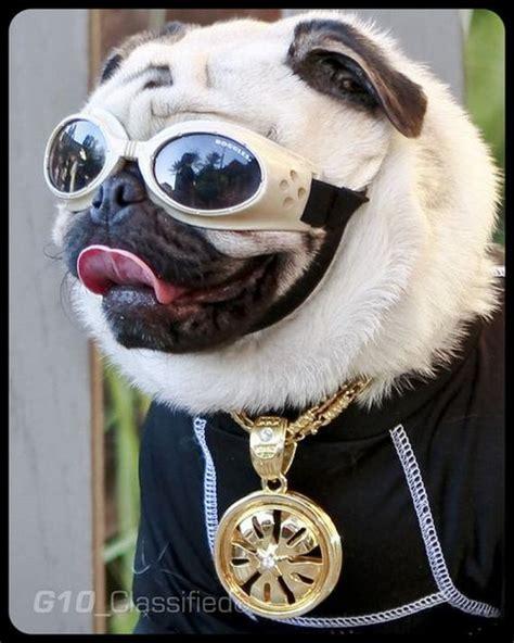 cool pug cool pug thugs barnorama