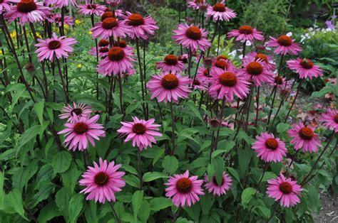 coneflower purple american seed co