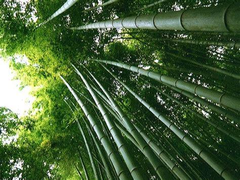 imagenes bambu japones china en mis ojos flora y fauna