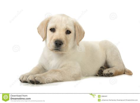 puppy laying puppy lying stock image image 2888481