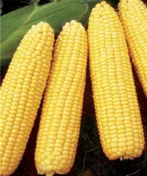 Benih Jagung Waxy Corn T1310 3 mengenal jagung emil salim