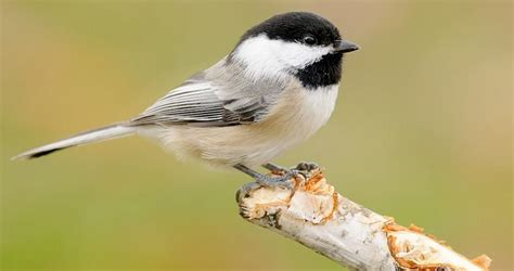 black capped chickadee identification all about birds