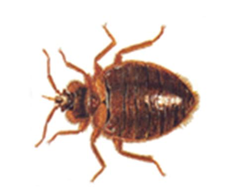 Common House Bugs by Identify Common Household Pests A1 Exterminators