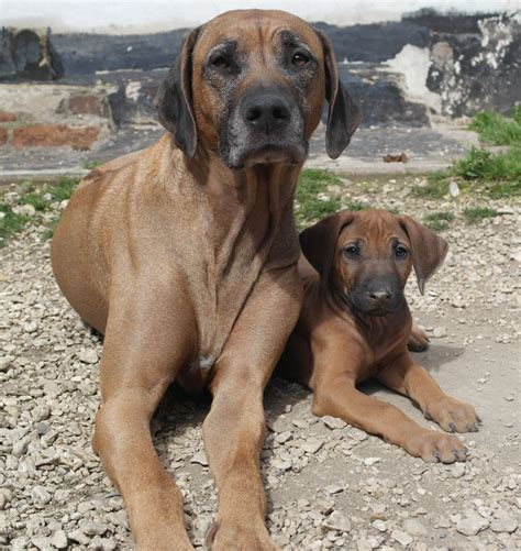 rhodesian ridgeback rescue puppies rhodesian ridgeback puppies for sale newport newport pets4homes