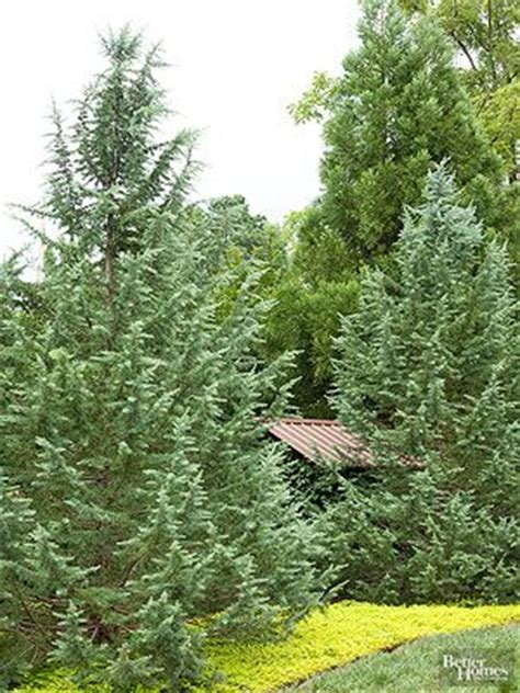17 best images about new garden on pinterest fast growing evergreens fast growing shade