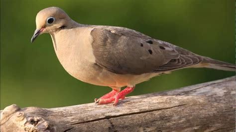 mourning dove call ringtones for android sfx animal