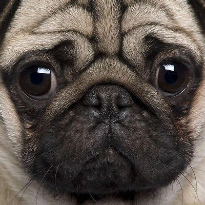tell me about pugs 25 best ideas about pugs on baby dogs pug puppies and pug puppies