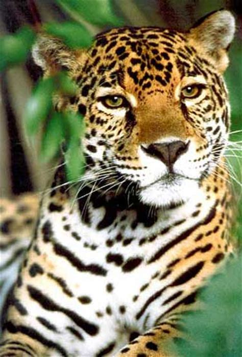 all about jaguars facts some facts about the jaguar cat facts about all
