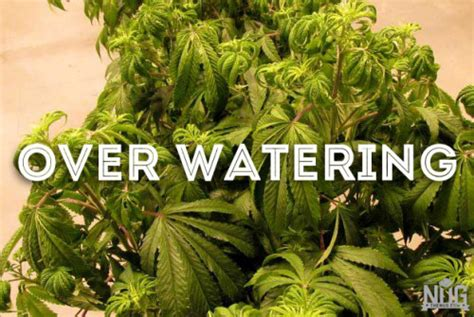 what to water your tree with marijuana leaf madness an introductory guide