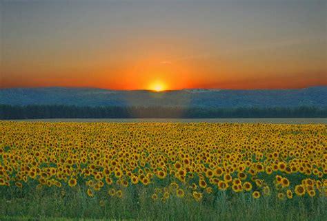 sunflower field the angels wear fins july 2010