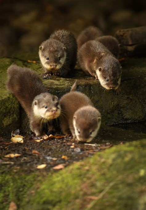 chester zoos otter pups learn  swim zooborns