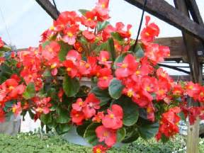 introduction to growing begonias beautifull flower
