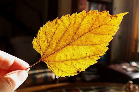 Aplikasi Daun Kering Pressed Leaf free photo dried leaf tree leaf yellow free image on