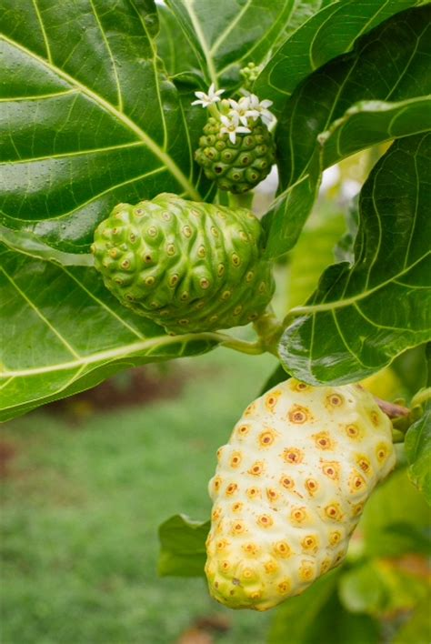 Teh Noni noni antioxidants the noni superfruit