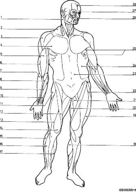 anatomy coloring pages muscles aecost net aecost net