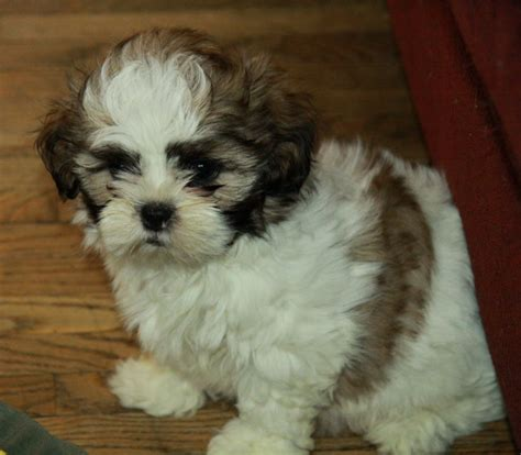 shih tzu canada shih tzu puppy puppies for sale dogs for sale in ontario canada curious puppies