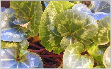 cura ciclamino in vaso ciclamino foglie gialle malattie piante appartamento